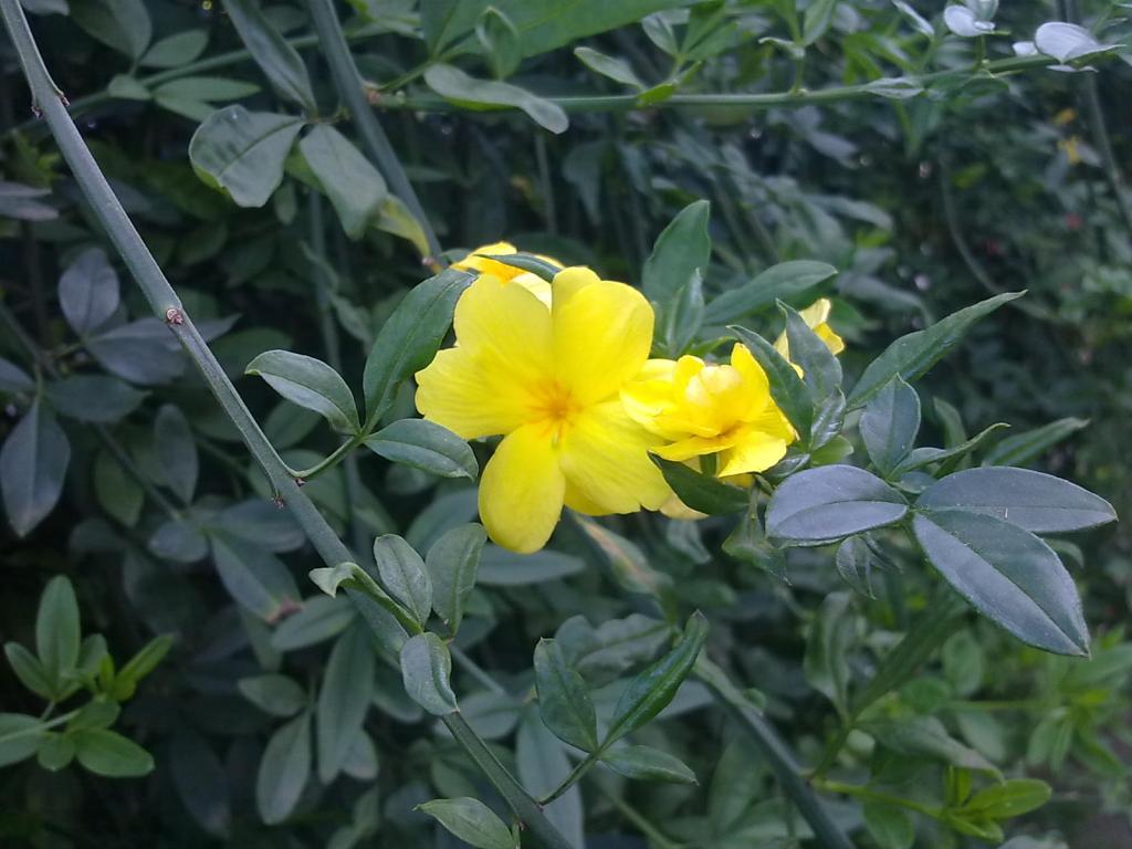 Herbarium #002 – Jasmim Amarelo (Jasminum mesnyi)