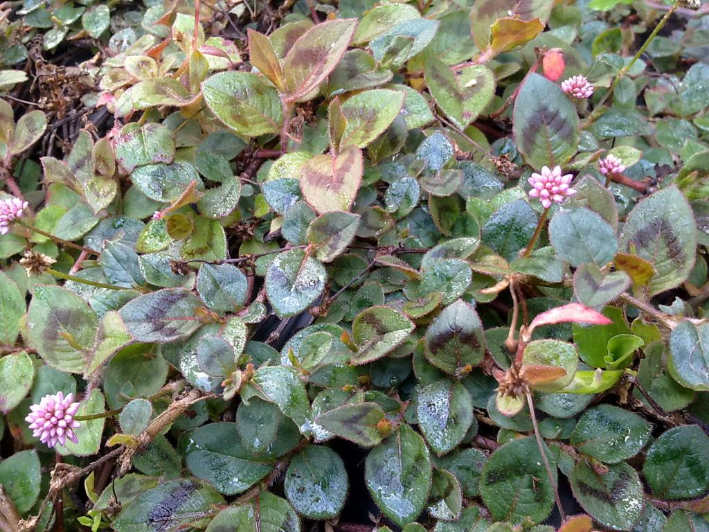 Herbarium #003 – Tapete inglês (Polygonum capitatum)